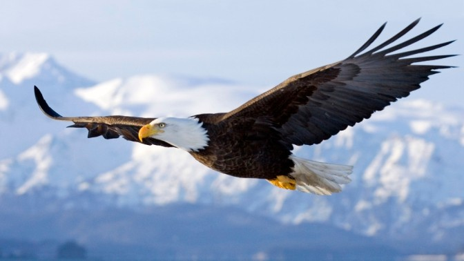 The American Bald Eagle – National Geographic Documentary